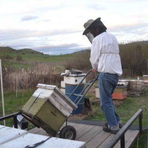 Ein Kanadischer Imker läd seine Bienenvölker auf einen Anhänger