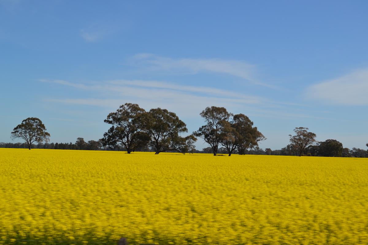Rapsfeld in Australien mit Eukalyptusbäumen in der Mitte