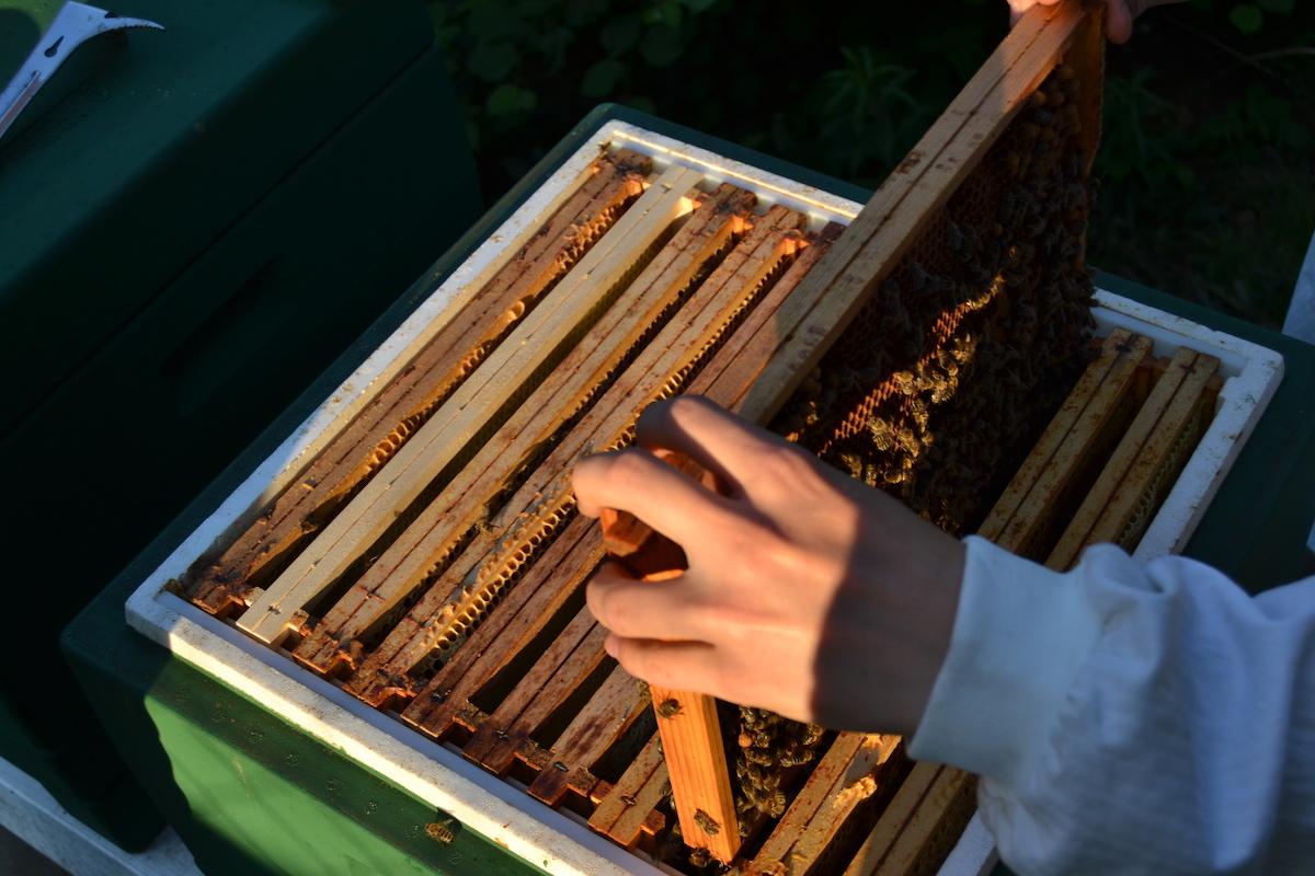 Ein Rähmchen wird aus einem Bienevolk entnommen