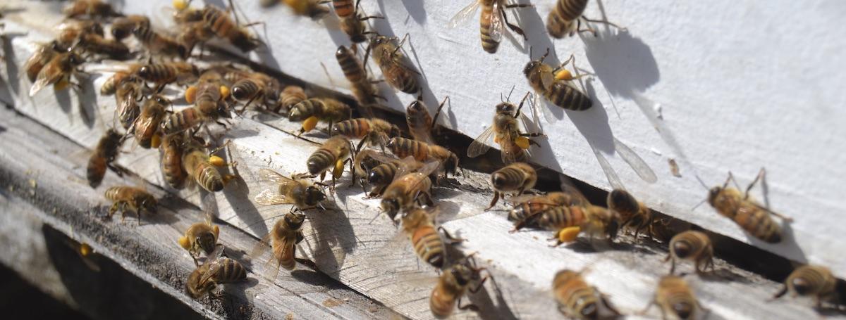 Bienen vor dem Flugloch mit Pollen - Mission beste Imkerausbildung Online für Deutschland