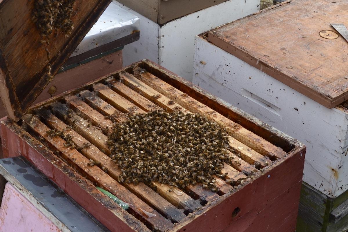Das Bienenvolk hat sich im Winter des Bienenjahres zu einer Traube zusammen getan