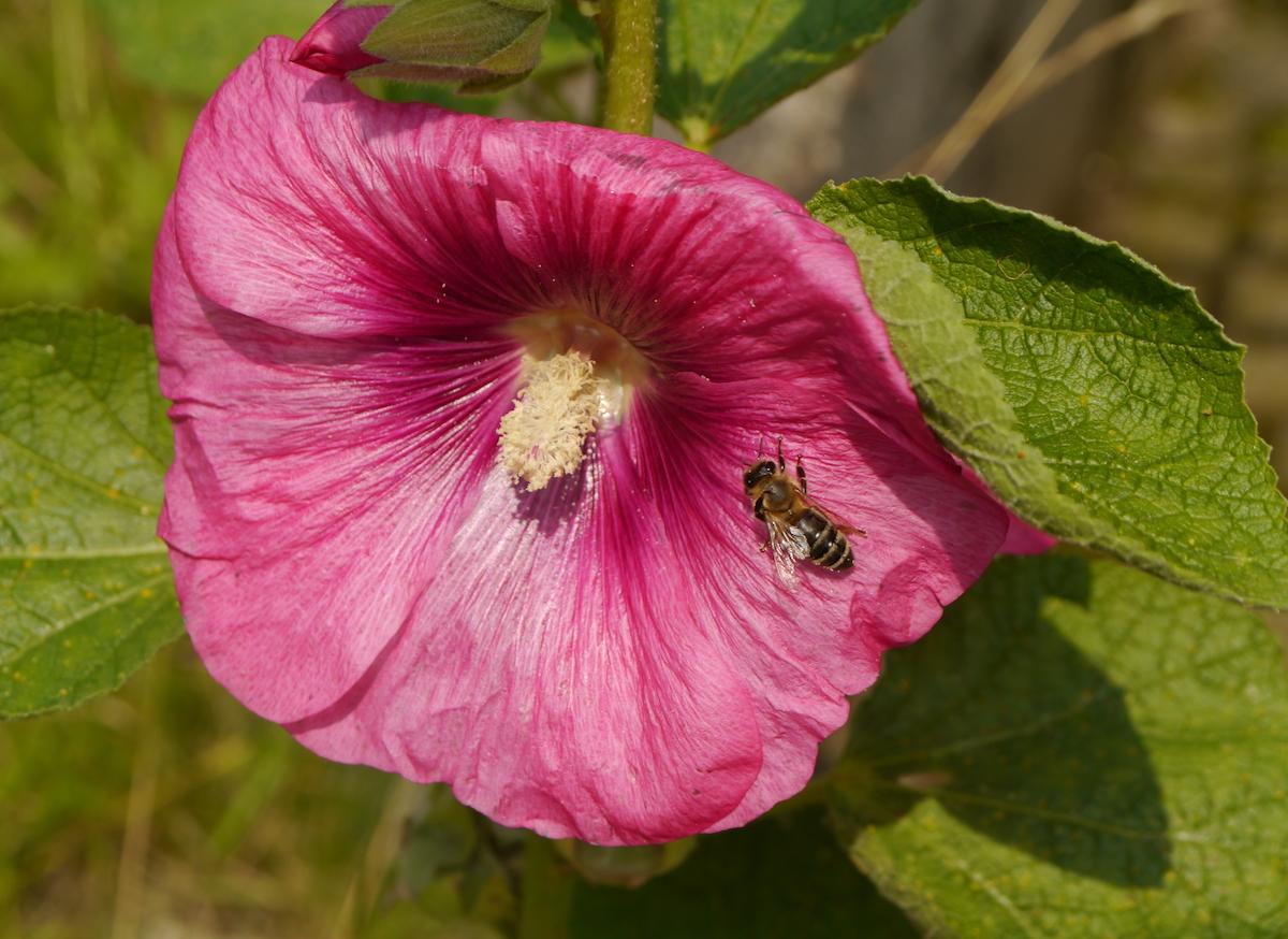 Eine Bienen sitzt auf einer Blüte der Stockrose