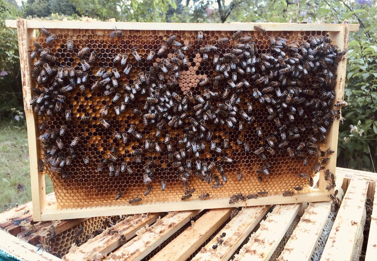 Eine Brutwabe ist durch das Schlüpfen von Honigbienen immer dunkler geworden