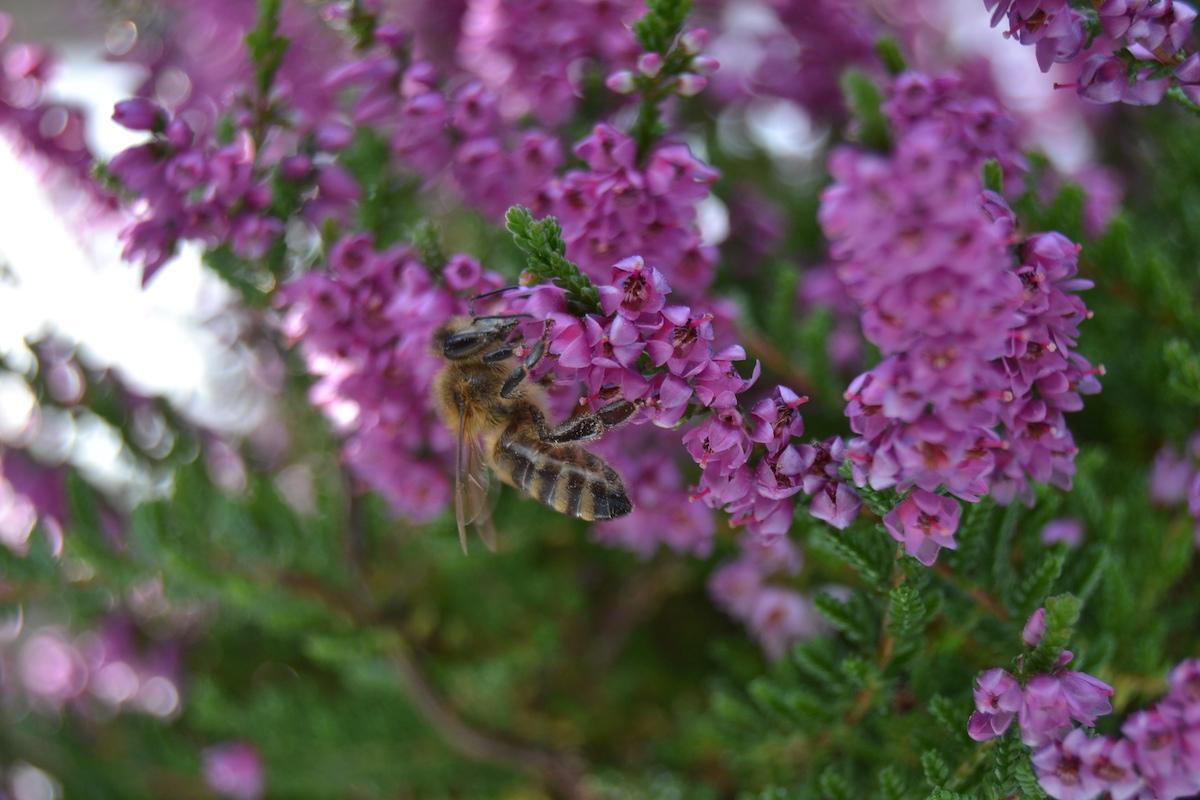 Eine Honigbiene sammelt im Oktober an einer Besenheide
