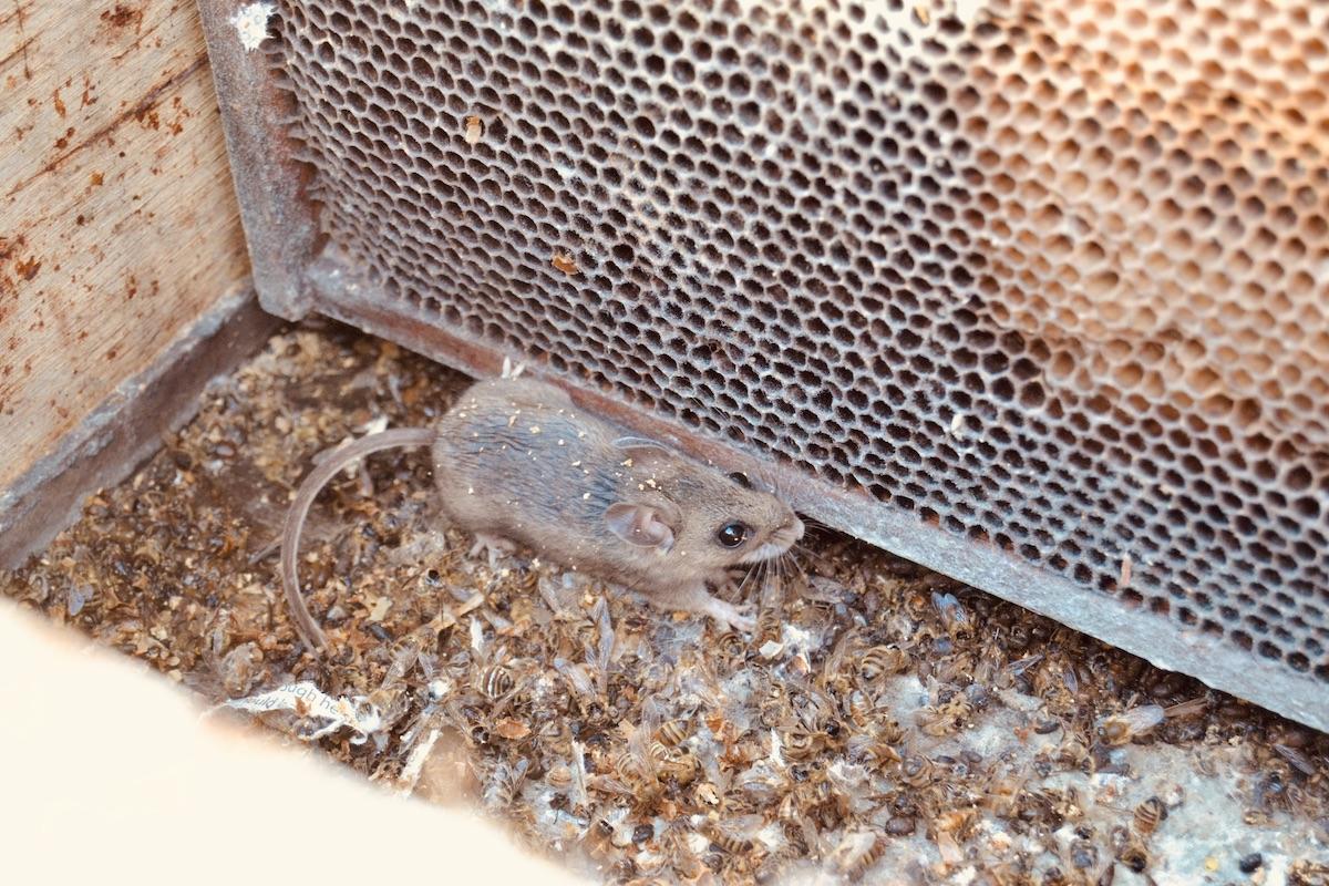 Eine Maus hat sich Zugang in ein Bienenvolk verschafft