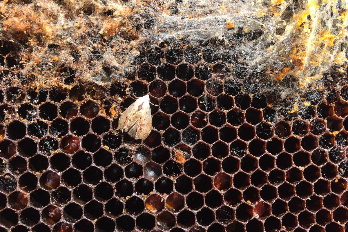 Eine Wachsmotte hat eine Bienenwabe besetzt