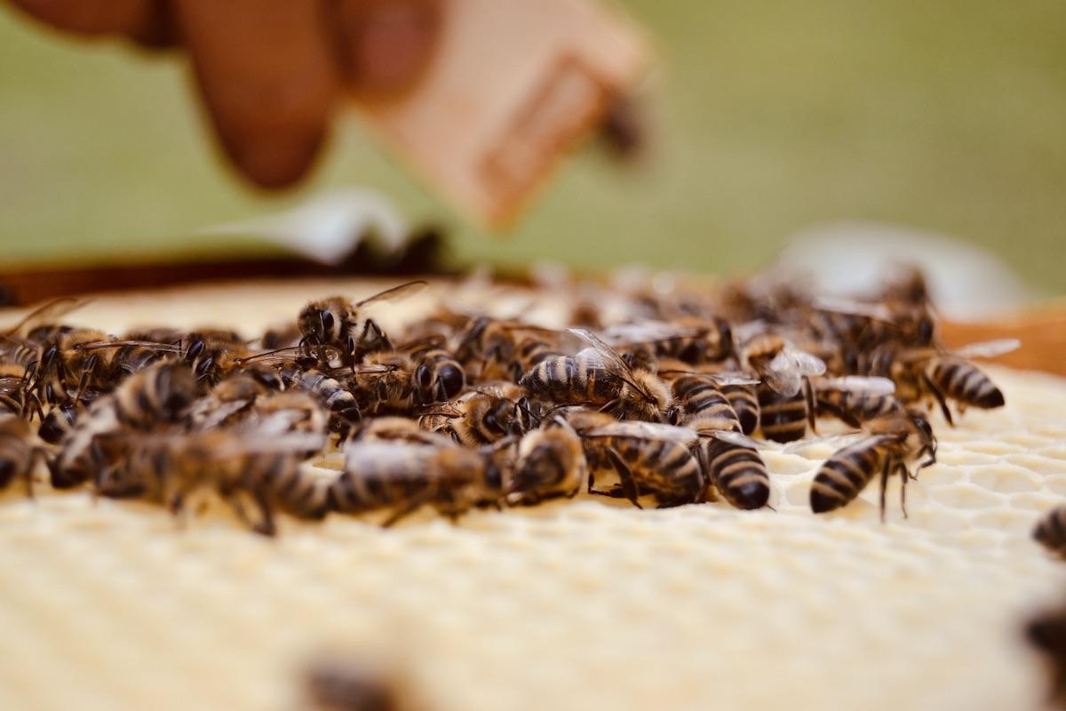 Honigbienen sitzen auf einer Wabe