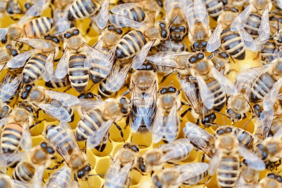 Arbeiterinnnen der Honigbiene mit einem Drohnen